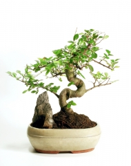 growing-a-bonsai-tree.jpg